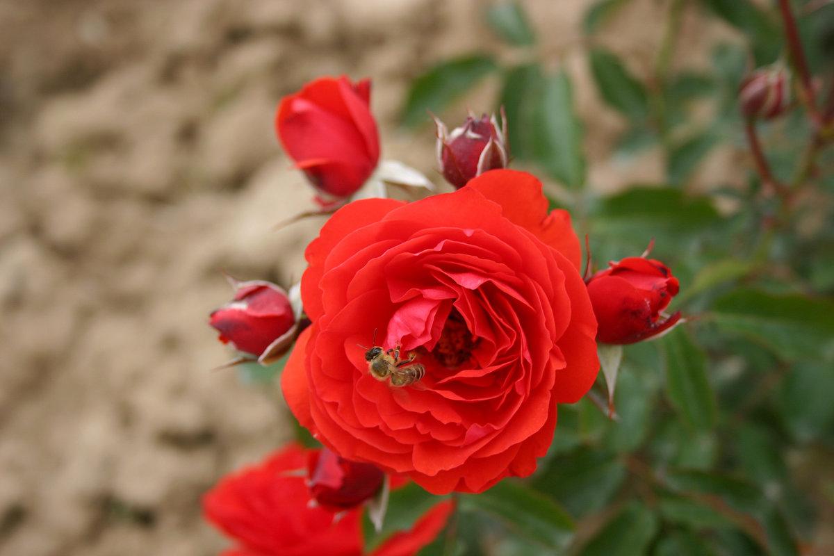 Розы флорибунда посадка и уход в открытом грунте для новичков