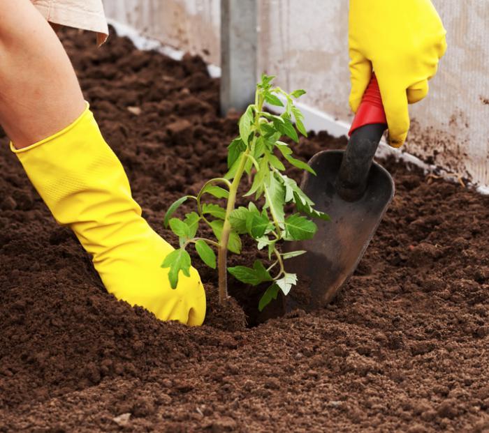Высадка рассады томатов в открытый грунт в мае по лунному календарю 2019