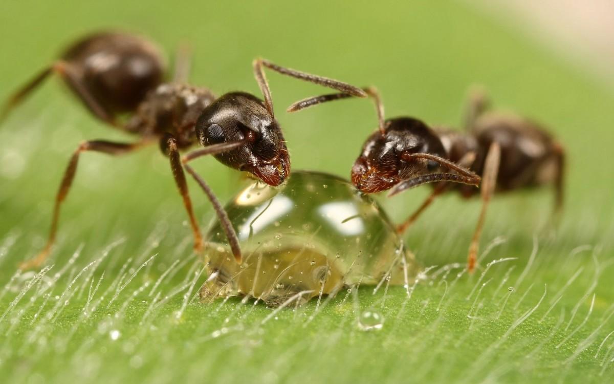 Как прогнать муравьев с огорода?