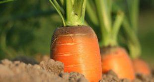Прореживание моркови на грядке - советы и секреты