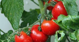 Дрожжевая подкормка помидор