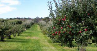 Как самому вырастить яблоню